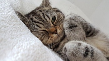 https://pixabay.com/ja/photos/猫-毛皮-白-目-2778603/