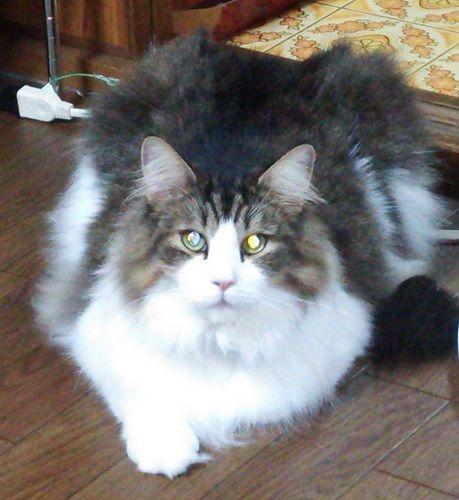 巨猫ライトピカ