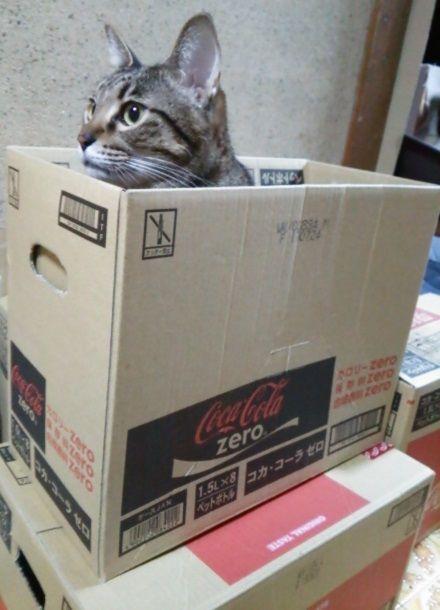 コーラの箱からハイひょっこりニャン (2)