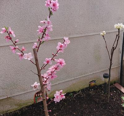 庭 桃と梨