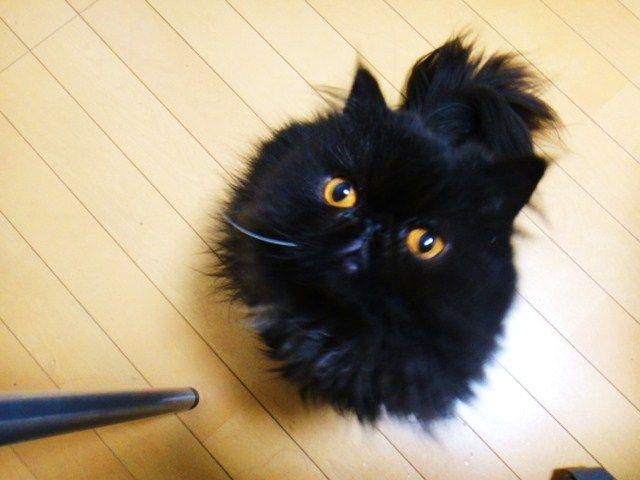 モップみたいな黒猫
