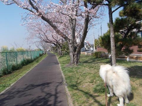 桜3-31-1