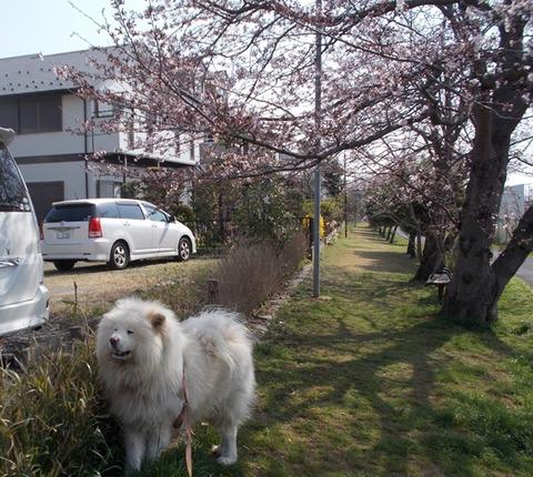 3月桜-1
