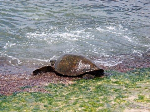 travel_hawaii_north_laniakea_04