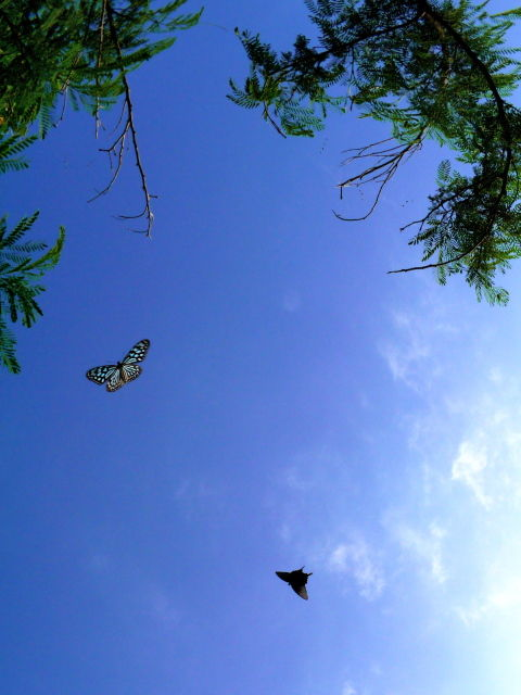 travel_taketomi_butterfly_02