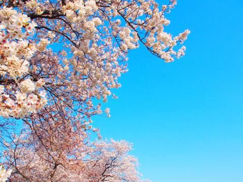 2012_hanami_04