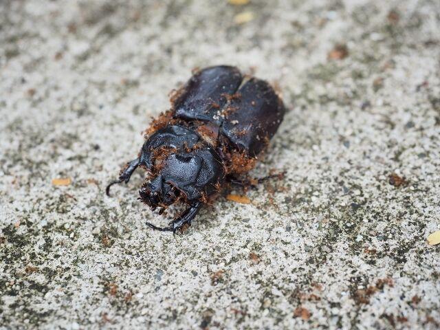 beetles_rhino_fiji_01