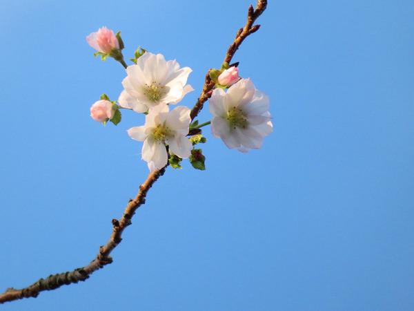24,10月桜