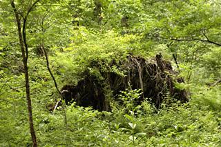 倒木の根っこ