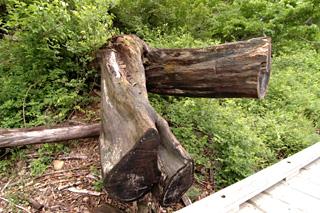 デッキ近くの倒木根っこ