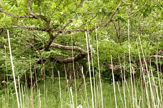 横に伸びる木