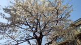 マンション中庭の桜