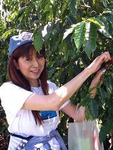 コーヒー豆摘み