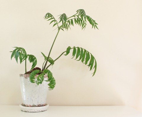 Angiopteris lygodiifolia