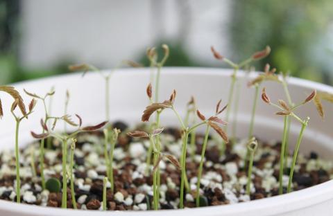 Pithecellobium sophorocarpum var. angustifolium