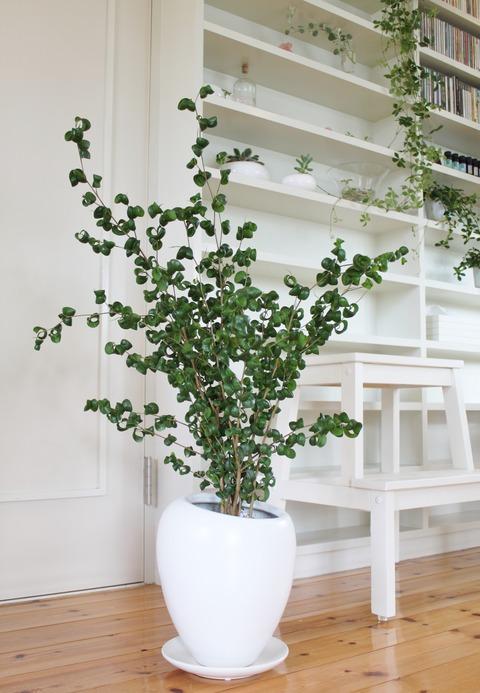 Ficus benjamina 'barok'