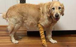 service-dog-figo