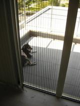 ベランダ犬復活