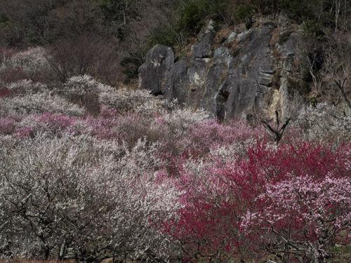20150310幕山公園OLs-23-Edit