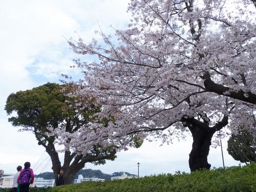 20150401桜横須賀OLs-4010042