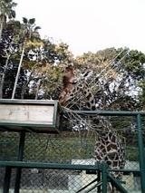 動物園(キリン)