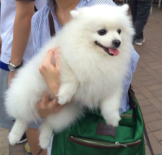 続いて西貢で出会った白ポメちゃん。