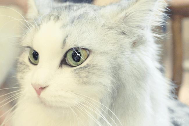 絵本の世界のような猫カフェ「てまりのおうち」ねこちゃん編