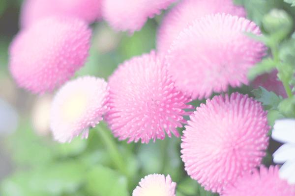 目黒川の桜❁お返事も