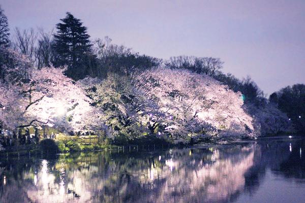 井之頭公園の桜と展示❁