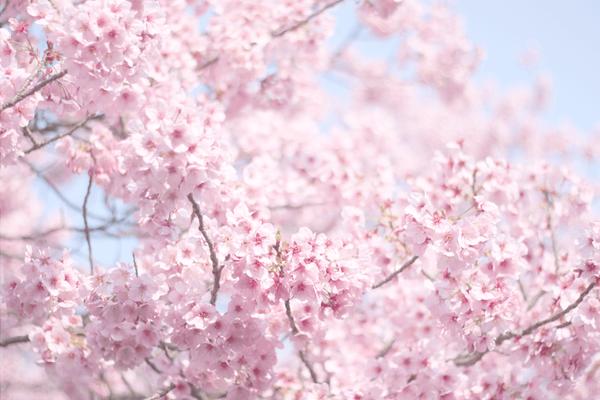 上野公園お花見❁