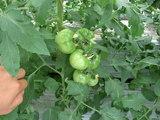 大型トマト