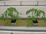 移植したトマト2