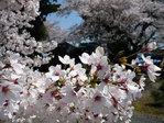 090409報恩寺桜2