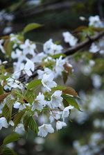 090402南濃山桜