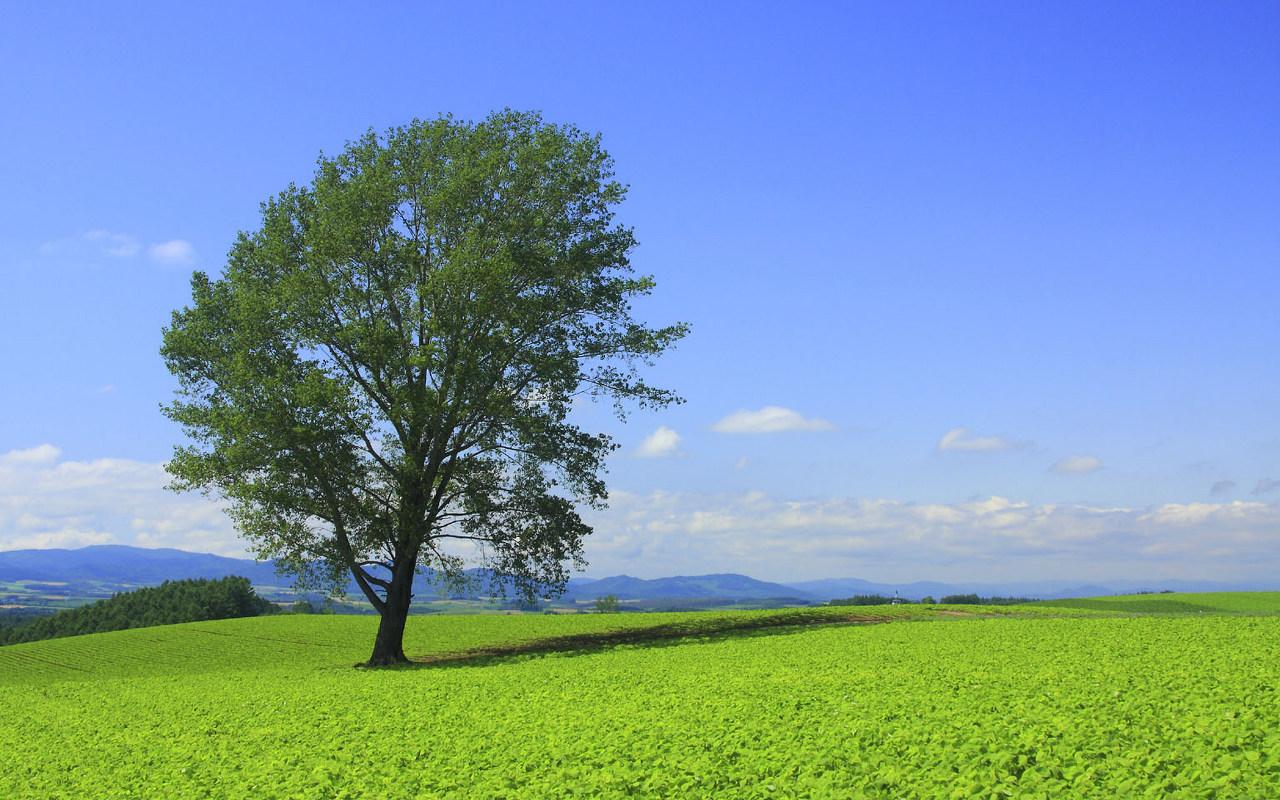 【まとめ】(画像)北海道・美瑛町「哲学の木」、所有者が ...