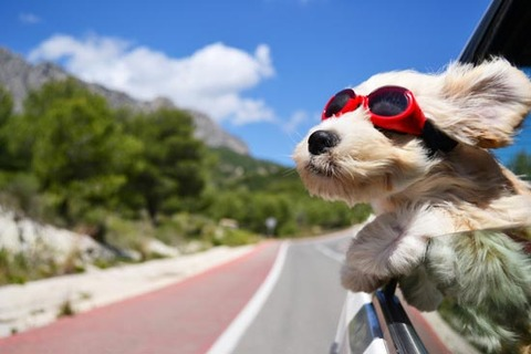 dog_car_summer