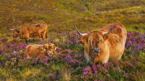 130507スカイ島のハイランド牛@イギリス スコットランド