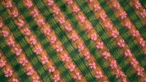 130303満開の桃の果樹園@アメリカ サウスカロライナ州