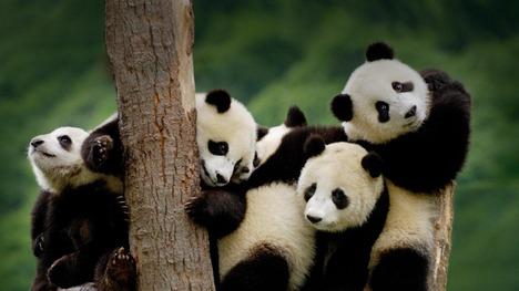 130310パンダの子供たち@中国 四川省
