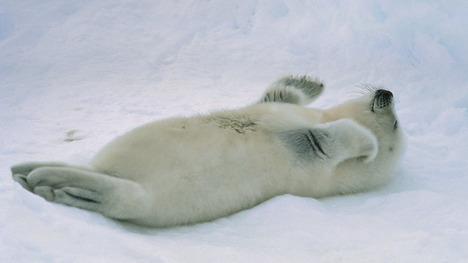 140505タテゴトアザラシの赤ちゃん@カナダ セントローレンス湾