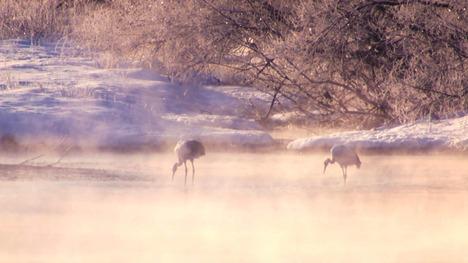 130313タンチョウ@北海道 釧路湿原国立公園