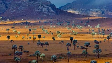 130409ヤシの群生するサバンナ@マダガスカル