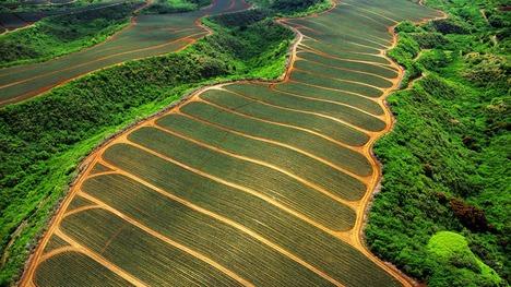 130816マウイ島のパイナップル畑@アメリカ ハワイ