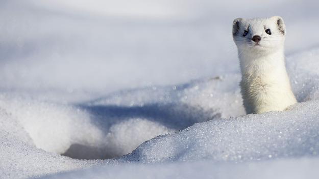 141212雪の中のオコジョ