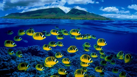 130224ミスジチョウチョウウオ@アメリカ ハワイ マウイ島