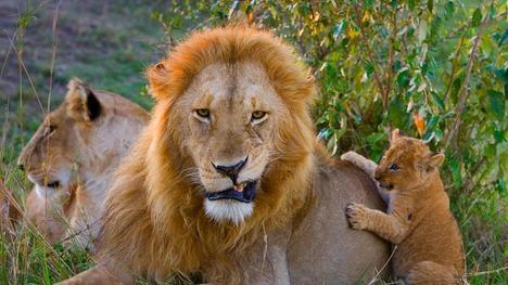 140615ライオン親子