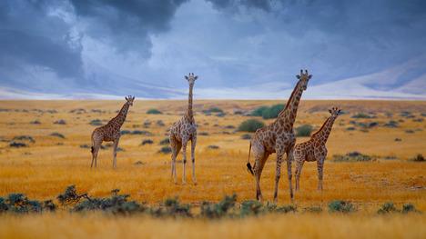 130813キリンの群れ@ナミビア