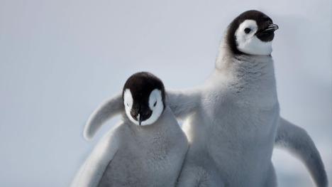 131203皇帝ペンギンの赤ちゃん@南極 スノー・ヒル島