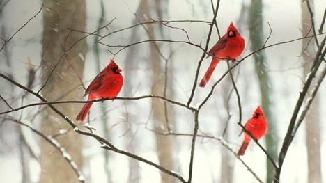 130102白い雪に映える赤い鳥