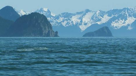 140922北の海で遊ぶ海の王者@アメリカ アラスカ